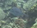 scrawledcowfish1