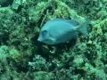 blue tang 12