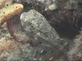 porcupinefish1