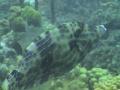 scrawledfilefish