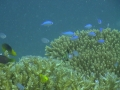 blue coral fish 5