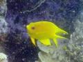 herald's angel fish