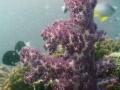 purple coral 2