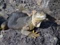 marine iguana4