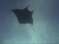 manta shadow7