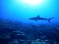 gr shark2