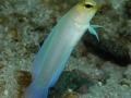 23 yellowhead jawfish