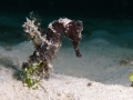 25 black sea horse